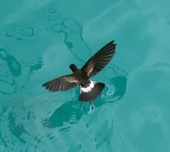 Storm petral walking on water (larken81) Tags: bird galapagos seabirds beautifulbird thewonderfulworldofbirds stormpetral photocontesttnc11