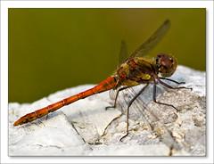 Vážka na skále 2 [Dragonfly on a rock]