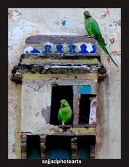 nest in birds (sajjadphotoarts) Tags: morning green nest partiots