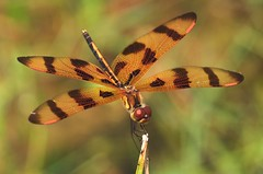 Halloween Pennant (magnetic lobster) Tags: dragonfly halloweenpennant