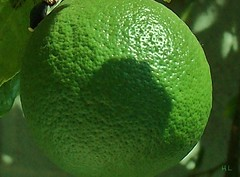 Close-up of lime (sirhowardlee) Tags: trees green frutas fruits gardens gardening closeups horticulture jardines limes
