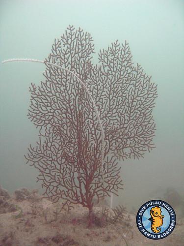 Gorgonian coral (Seafan)