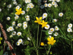 Daisies and meadow buttercups in the garden (peter++) Tags: flowers white plant flower yellow spring buttercup meadow ranunculus slovenia daisy slovenija acris zlatica marjetica marjetice ripea ripeca friesianus