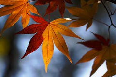 Two Faced Leaf (jasohill) Tags: city autumn fall nature colors japan japanese iwate backgrounds     akita 2009 tohoku   50d  kazuno canon50d photohgraphy fotocompetition vanagram fotocompetitionbronze fotocompetitionsilver