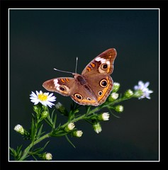 Common Buckeye (Junonia coenia) (ilovenorma) Tags: black macro butterfly insect lepidoptera buckeye onblack commonbuckeye junoniacoenia
