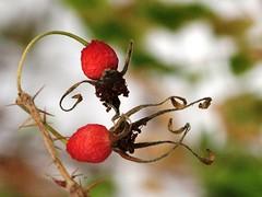 Wild Rose Hips (#917) (protophotogsl) Tags: autumn red white plant canada macro green fall nature rose closeup dof alberta wildrose rosehips tofield bej heartawards brillianteyejewel platinumheartaward northwindsdaughter protophotogsl hiimaginaire photoscreationsart img4989auto