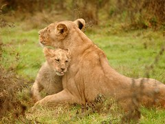 bb lion de l'Angola et maman (home77_Pascale) Tags: france animal ngc lion bb calin fauve thegalaxy specanimal c