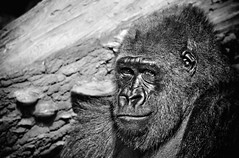 Lowland Gorilla checking me out (alan shapiro photography) Tags: nyc portrait blackandwhite bw fall monochrome mono gorilla character exploring bn ape expressive canonrebel primate 2009 wandering roaming lowlandgorilla alanshapiro ashapiro515 monochromeaward canonrebelt1i femalelowlandgorilla 2010alanshapiro alanshapirophotography wwwalanwshapiroblogspotcom 2010alanshapirophotography