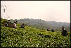 """picking the tea leaves: """"two leaves and a bud"""" (tojeto) Tags: india tea darjeeling teapicking teepflückerinnen"""