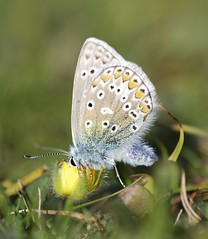 Common Blue - Polyommatus  icarus (frattonparker) Tags: blue macro male st butterfly down 11 papillon ventnor tamron 90mm isle wight schmetterling commonblue boniface 40x farfalle of btonner frattonparker