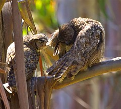 Great Horned Owl Parents (flythebirdpath > > >) Tags: ca male birds female parents lososos grooming raptors owls greathorned