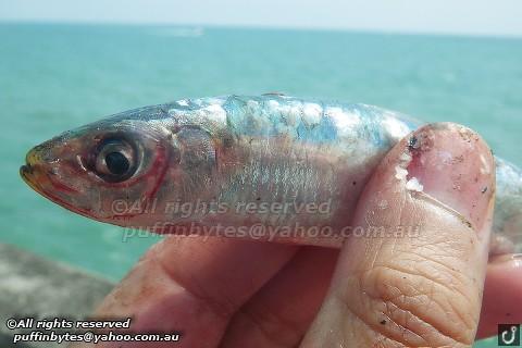 European Pilchard - Sardina pilchardus