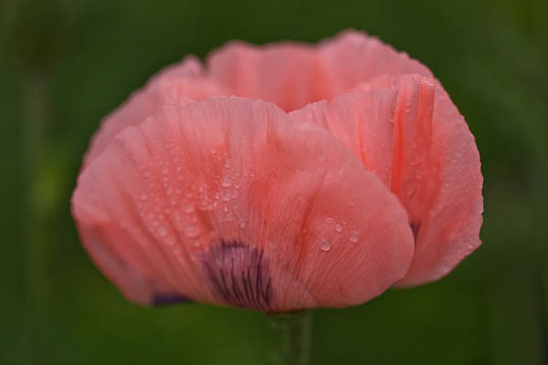 Floating Poppy