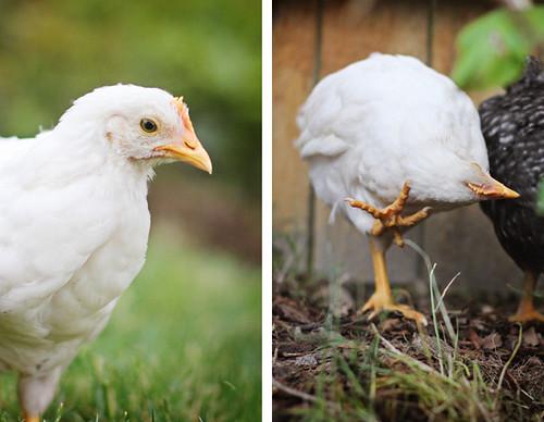 chick2