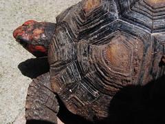 Tartaruga. (outsuka) Tags: turtle shy casco tartaruga timida