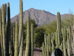 Cactuses and Camelback Mountain (alist) Tags: phoenix garden botanical desert alicerobison