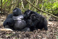 The Gorilla Kiss, In the mountains of Rwanda, not in a zoo. (Marie-Marthe Gagnon) Tags: africa family 3 mountains forest kiss gorilla rwanda rila 200 vegetarian second romantic volcanoes volcanic 200v famine biodiversity mgahinga virunga beringei gorillaberingeiberingei ngagi endangerspecies ancientforests mariegagnon mariemarthegagnon