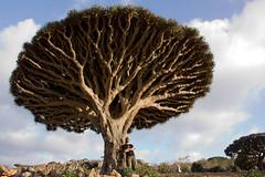 et pendant ce temps-là... (Alexbip) Tags: plateau yemen socotra soqotra jemen arabiafelix dragonbloodtree homhill سقطرى اليَمَن dracaenacinnabari sandragon