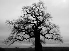 Shadow play (RainerSchuetz) Tags: tree silhouette oak naturschutzgebiet eiche reinhardswald hessian schattenriss silhouetten natureprotectionarea naturesanctuary integralnaturereserve baumsilhoue