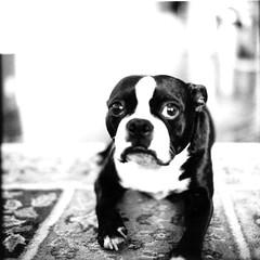 (jeffreywithtwof's) Tags: mamiya film home jeff boston square fuji bean terrier instant hutton bt rb67 fp3000b themr jeffhutton jeffhuttonphotography jeffreyhutton