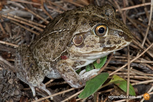 Eastern snapping frog (Cyclorana novaehollandiae)
