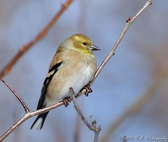 American Goldfinch (Hal Trachtenberg) Tags: pfogold