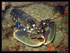 Homarus gammarus (homard) (cquintin) Tags: marine lobster plongée arthropod homard homarus gammarus