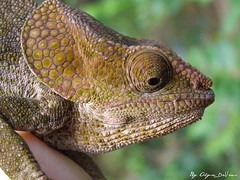 Culumma brevicornis (alysedevries) Tags: chameleon madagascar