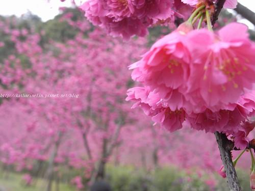 你拍攝的 2櫻花。