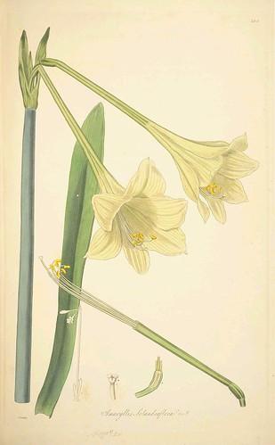 Amaryllis solandraflora