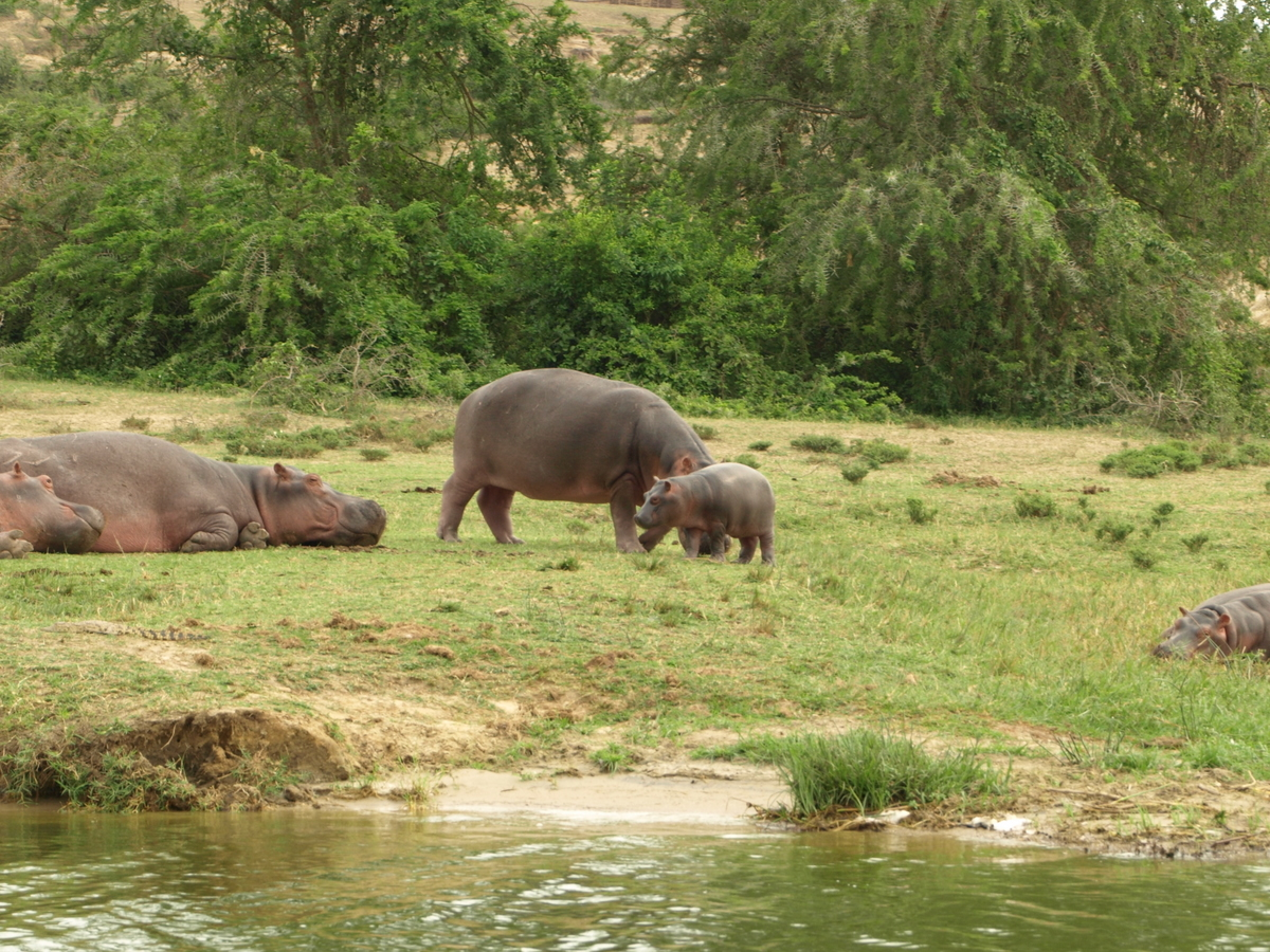 Baby Hippo and Mother II