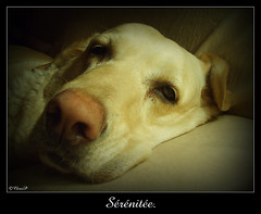Srnite (ChrisP-Photography) Tags: dog chien labrador sleep dormir sieste repot srnite