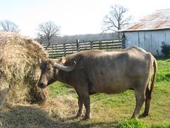 Blondy  - Trinidad (WaterBuffalo) Tags: waterbuffalo buffalosteak rainforestanimals animalsmating waterbuffalopicture waterbuffaloforsale