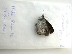 Erebia cassioides