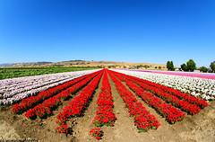 Field of Flowers (dj murdok photos) Tags: flowers blue red white fisheye richcolors