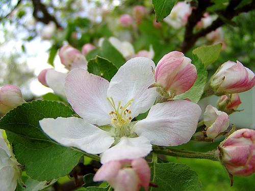 Õites õunapuud 3745734240_eb29b199b9