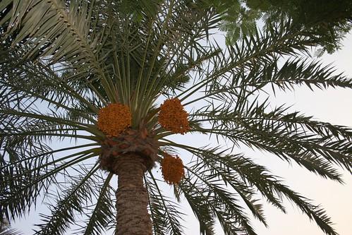 Gharra Date Palm