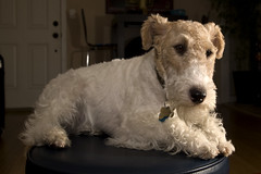 bodieathome (jrfphotography) Tags: dog animal delete10 delete9 delete5 delete2 delete6 delete7 delete8 delete3 delete delete4 terrier delete11 foxterrier delete12 pocketwizard strobist causedamnmojumpedme