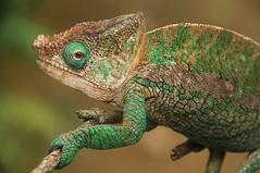 Parson's chameleon (Calumma parsonii) in Andasibe National Park (jitenshaman) Tags: closeup reptile chameleon madagascar parsonschameleon