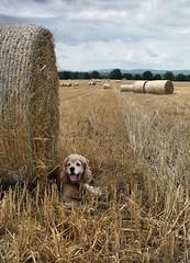 Today is a tropical heat again,... (mariannakoutna) Tags: summer dog field harvest straw august pole summertime filip pes stubble slama photoassistant žatva americkýkokeršpanielzlatý imagesofthelittleprince lrto letnýčas strnisko fotoasistent