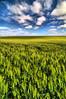 Trigo - Wheat (Shigow) Tags: brazil sky colors field brasil composition wow fantastic nikon mine dynamic farm wheat great céu victor tokina sp crop campo range fazenda trigo d300 plantação 1116 shigueru ituverava hdrhigh shigow