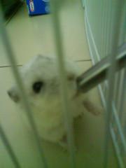 The water taste good... (MilkyShu) Tags: animal hamster hamsters