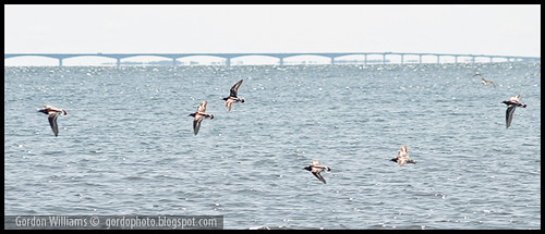 Shorebirds Confederation Bridge