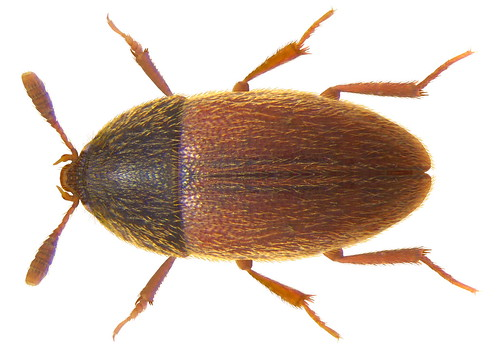 Colon brunneum (Latreille, 1807) male