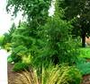 Norway Spruce (boisebluebird) Tags: flowers summer plants garden landscape design boise patio garening michaeltoolson boisebluebirdcom httpwwwboisebluebirdcom boiselandscaping boisegardener