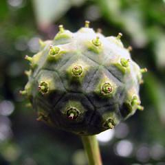IMG_4884 qe (MaggieDu) Tags: trees seedpods kousadogwood