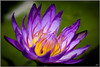 Happy Lily (Lohb) Tags: waterlily 70200 canon40d