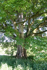 Tree outside Auchans House, Dundonald