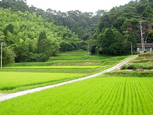 miyato rice field