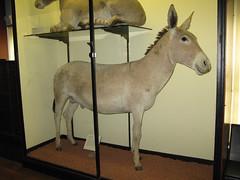 59 African Wild Ass (Rare Rupert) Tags: taxidermy tring naturalhistorymuseum africanwildass